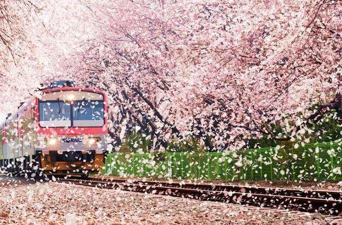 Những cánh hoa đào bay theo tạo nên bức tranh cuộn tuyệt vời khi đoàn tàu chạy ngang qua