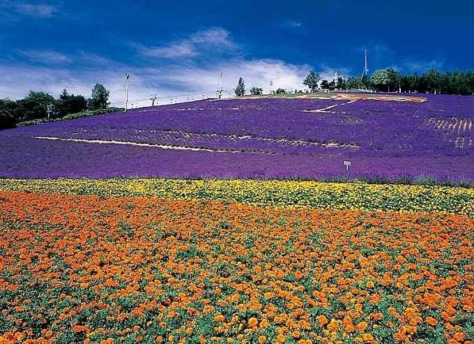 cánh đồng hoa lavender nổi tiếng nhật bản tugo.com.vn
