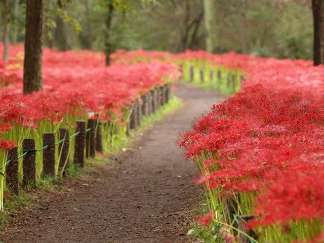 Đầu thu, những bông hoa bỉ ngạn bắt đầu nở rộ, che phủ trên nhiều con đường dẫn vào nghĩa trang