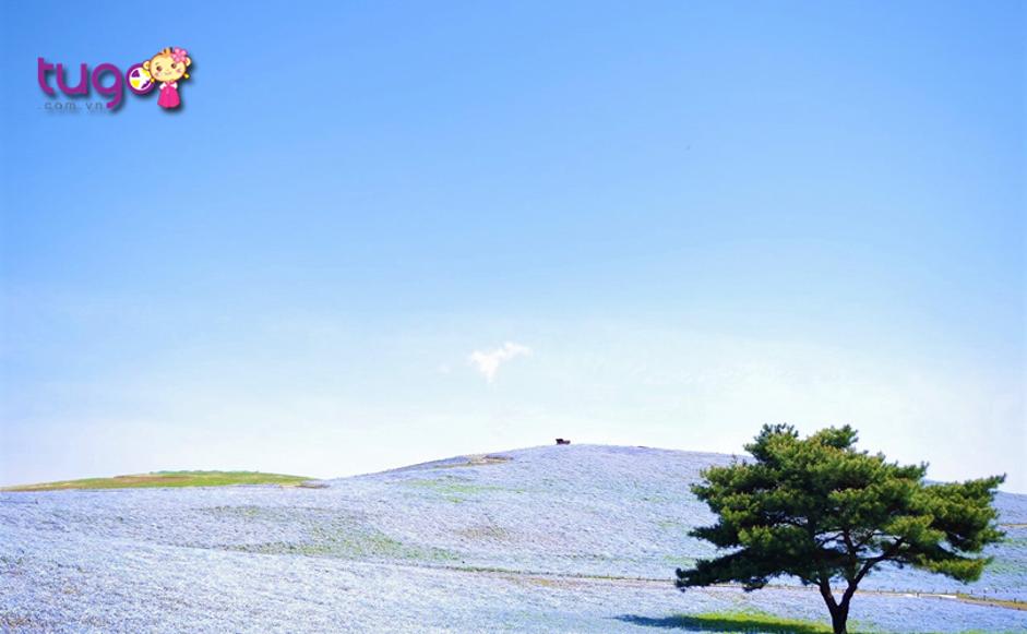 Cánh đồng hoa rộng lớn trải dài vô tận ở Miharashi Hills