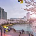Công viên Yeouido rực rỡ vào mùa xuân
