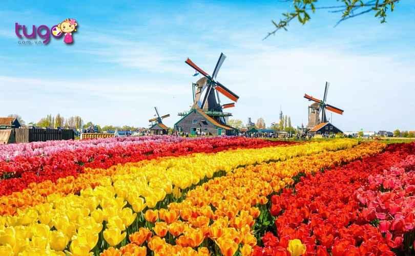 coi-xay-gio-va-canh-dong-hoa-tulip-nhung-dac-trung-cua-dat-nuoc-ha-lan