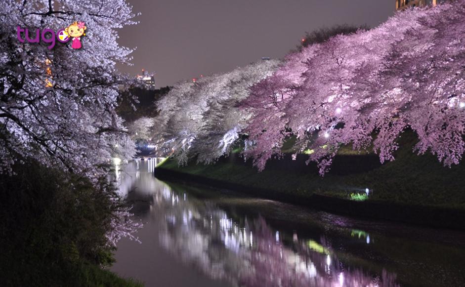 Con đường hoa anh đào được chiếu sáng vào ban đêm