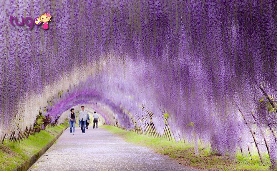 Con đường thơ mộng với sắc tím ngọt ngào của loài hoa tử đằng