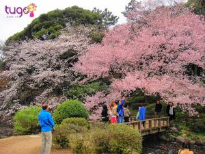 Công viên Shinjuku chính là điểm ngắm hoa anh đào đẹp nhất ở Nhật Bản
