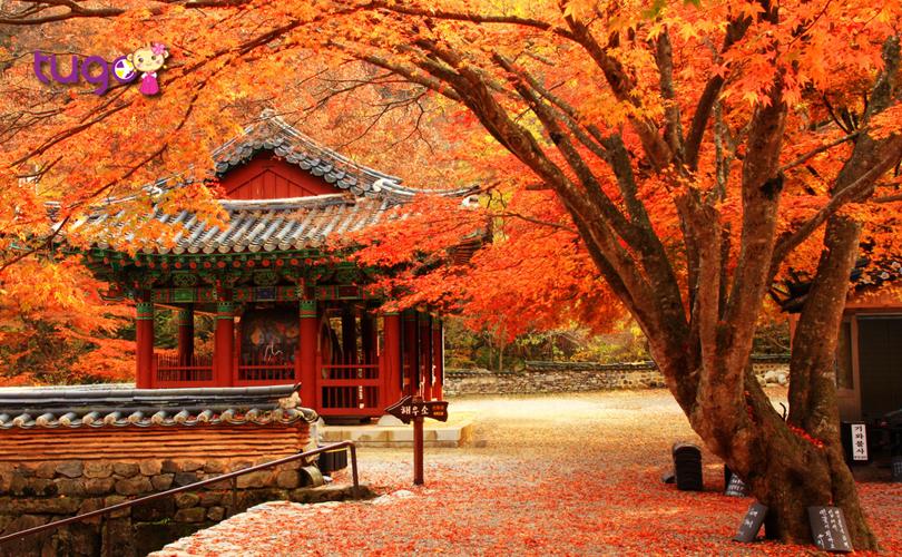 Do sự khác biệt về địa lý nên thời điểm diễn ra mùa lá đỏ ở Hàn Quốc ở mỗi nơi sẽ không giống nhau