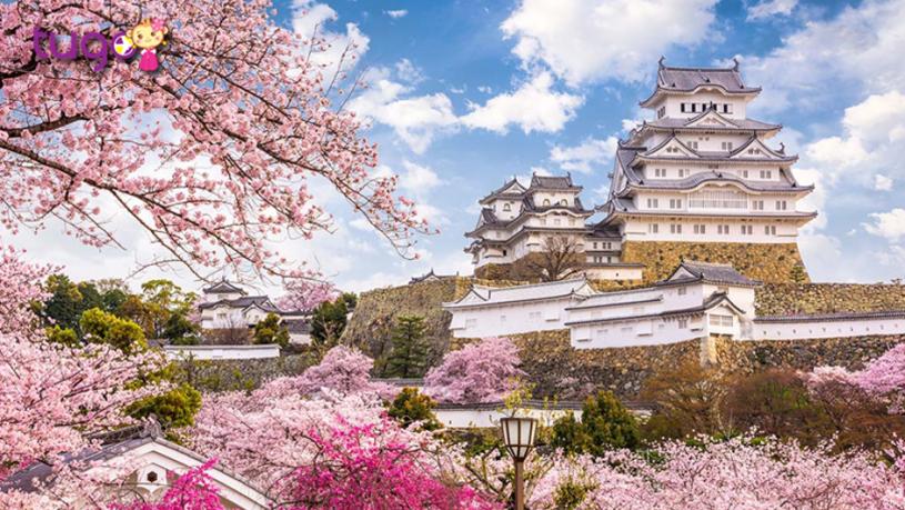 Hoa anh đào nở rộ càng làm nổi bật vẻ đẹp độc đáo của lâu đài Himeji