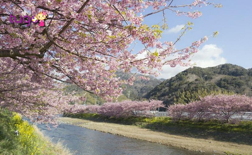 Hoa anh đào nở rộ, khoe sắc yêu kiều giữa trời đông Nhật Bản
