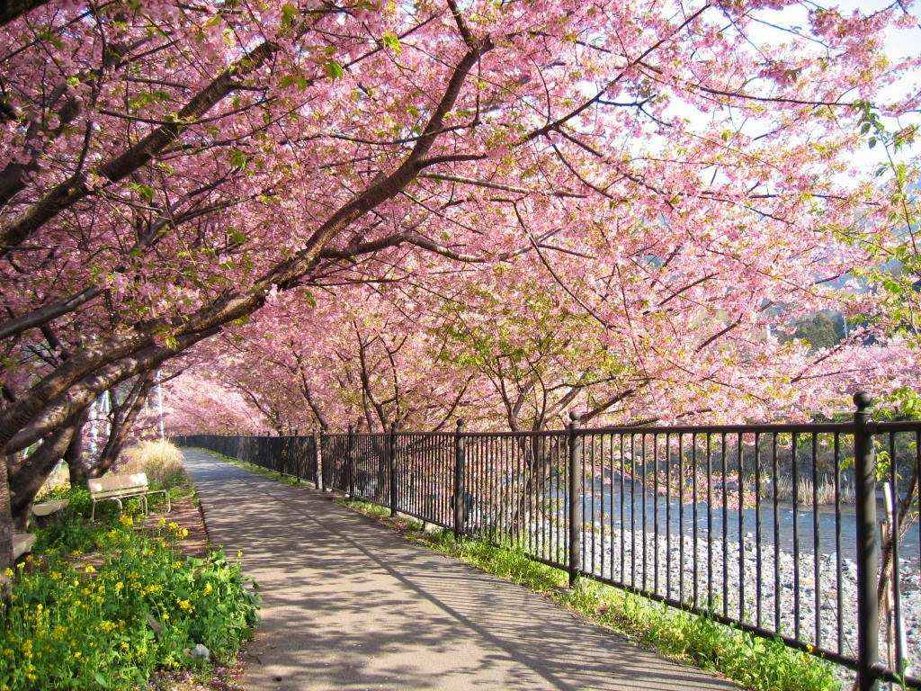 Hoa anh đào mùa xuân ở Hàn