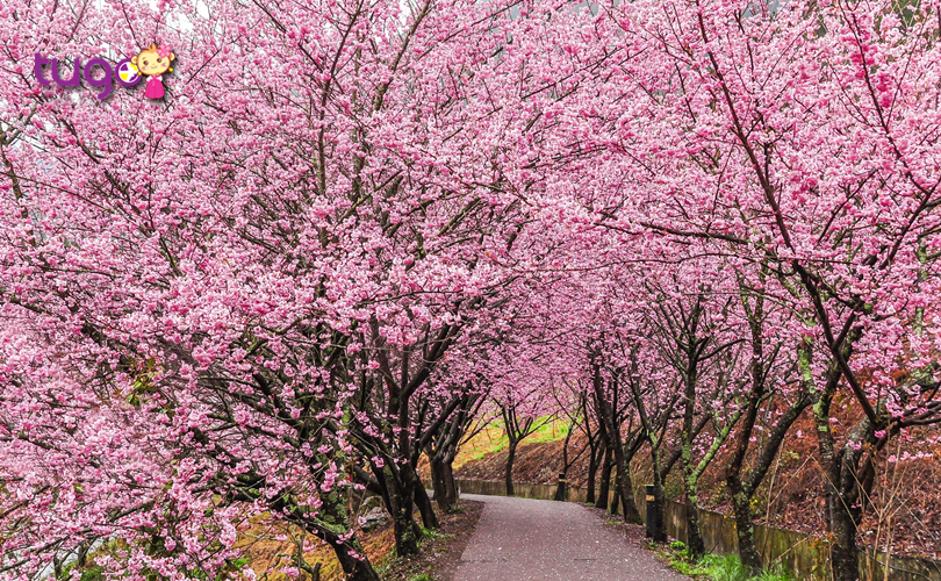Khung cảnh mùa xuân rực rỡ ở Đài Loan vào độ tháng 3