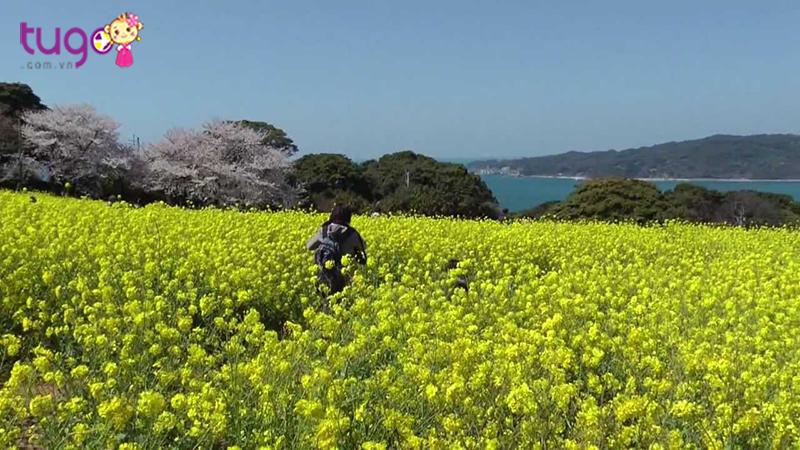 Nokonoshima nổi tiếng là hòn đảo công viên đẹp với nhiều loài hoa dại