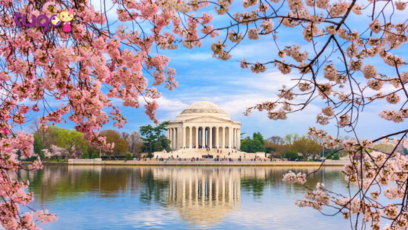 Lễ hội hoa anh đào là một trong những sự kiện được trông chờ nhất vào mùa xuân ở Mỹ