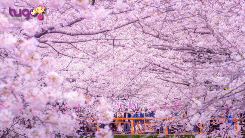 Mùa xuân ở Nhật Bản tràn ngập sắc hoa anh đào rực rỡ