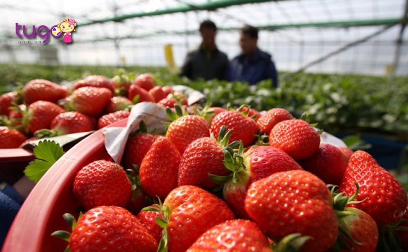 Mùa xuân cũng là thời điểm thu hoạch dâu tây ở đất nước Hàn Quốc