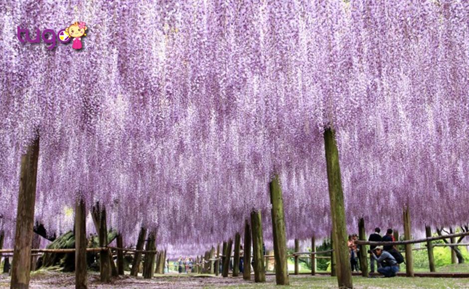 Nơi đây cũng là địa điểm du lịch hàng đầu tại Nhật Bản vào mùa xuân