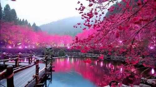 hướng dẫn xin visa mùa hoa anh đào tugo.com.vn