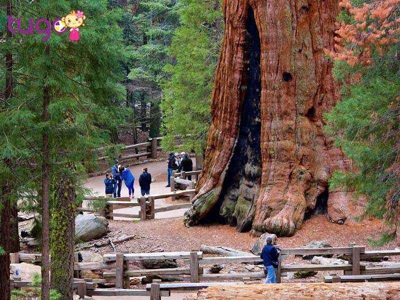 General Sherman được gọi là khu rừng khổng lồ