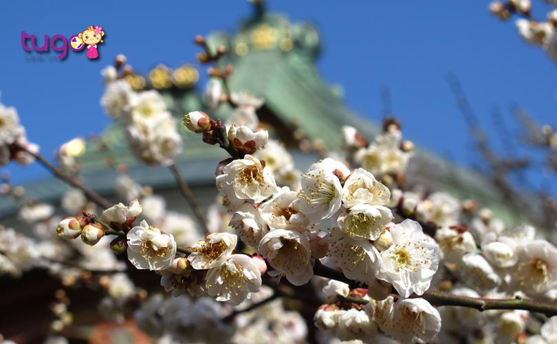 Những bông hoa mận nở rộ ở đền Kitano Tenmangu