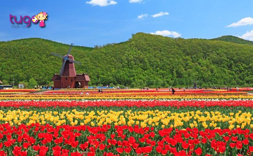 Những bông hoa tulip nở rộ, khoe sắc rực rỡ trong ngày xuân