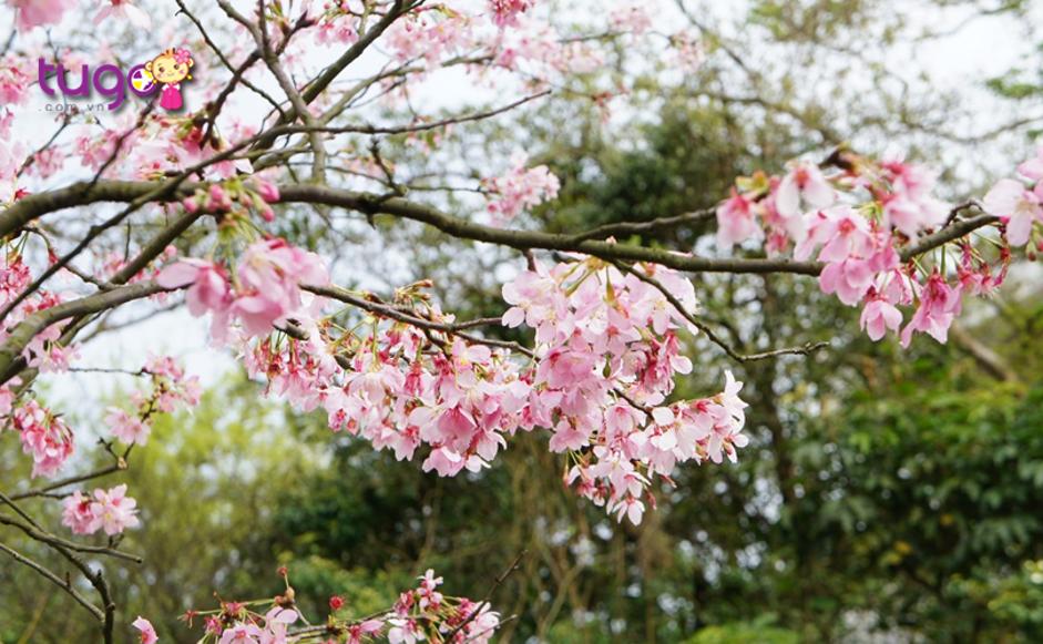 Những cánh hoa đào rực rỡ khoe sắc ở công viên Dương Minh Sơn