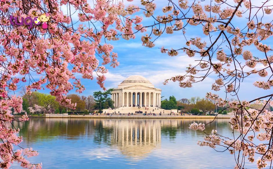 Những cánh hoa anh đào tươi thắm nở rộ vào khoảng tháng 3 ở Mỹ