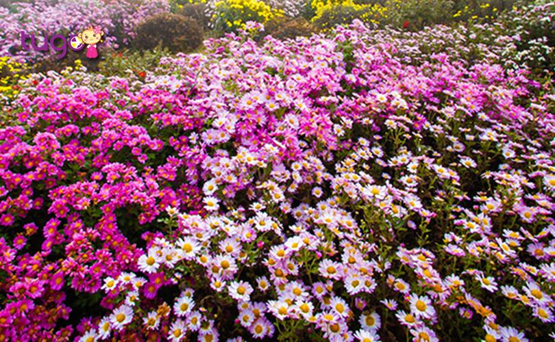 Những cánh hoa cúc rực rỡ khoe sắc giữa trời thu Hàn Quốc