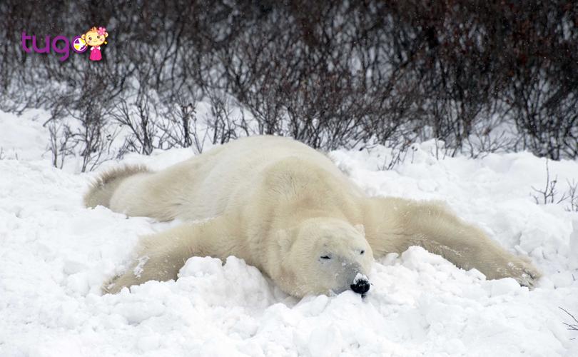 Những chú gấu Bắc Cực đáng yêu tại khu hoang dã Churchill