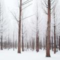"""Những tán cây ở đảo Nami nay đã """"khoác một màu áo"""" trắng tinh khôi khi đông về"""