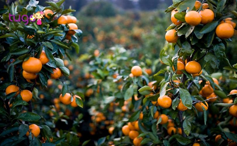 Quýt đường là loại trái cây đặc sản nổi tiếng ở đảo Jeju