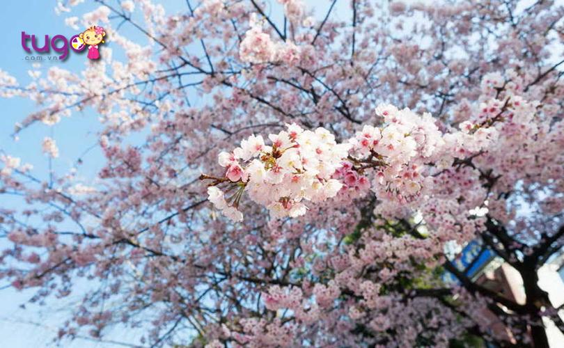 Sắc hoa anh đào rực rỡ khắp nơi vào mùa xuân ở Nhật
