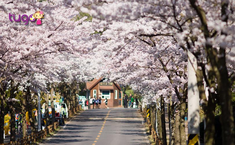 Sắc hoa rực rỡ, yêu kiều trên những con phố Hàn Quốc vào mùa xuân