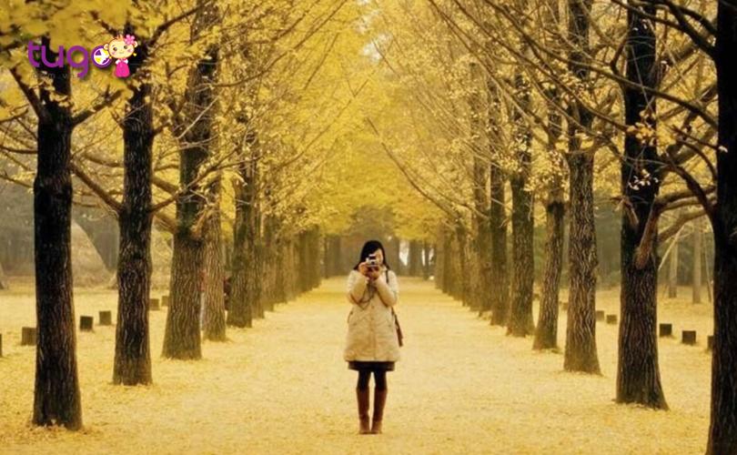 Sắc vàng của cây lá bao phủ mọi ngóc ngách tại đảo Nami