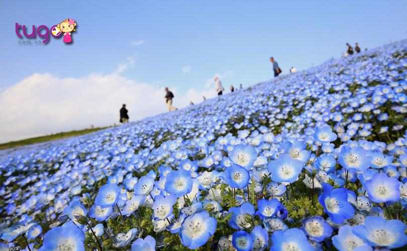 Sắc xanh tươi đẹp của loài hoa nemophila bao phủ khắp mọi nơi