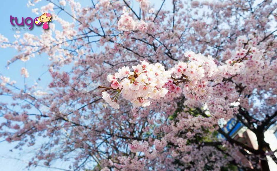 Tháng 3 là thời điểm lý tưởng để du lịch ở Nhật Bản
