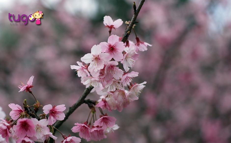 Thời điểm ngắm hoa đẹp nhất ở Wulai sẽ rơi vào khoảng độ tháng 3