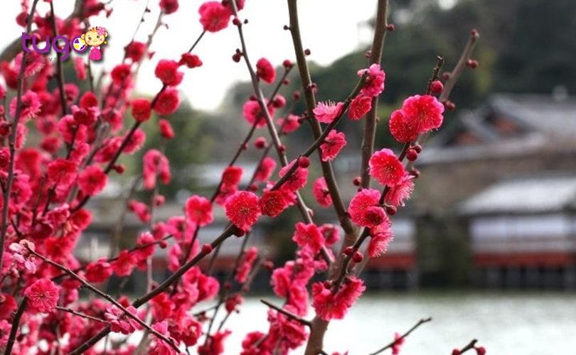 Vẻ đẹp ngọt ngào của loài hoa mận Nhật bản
