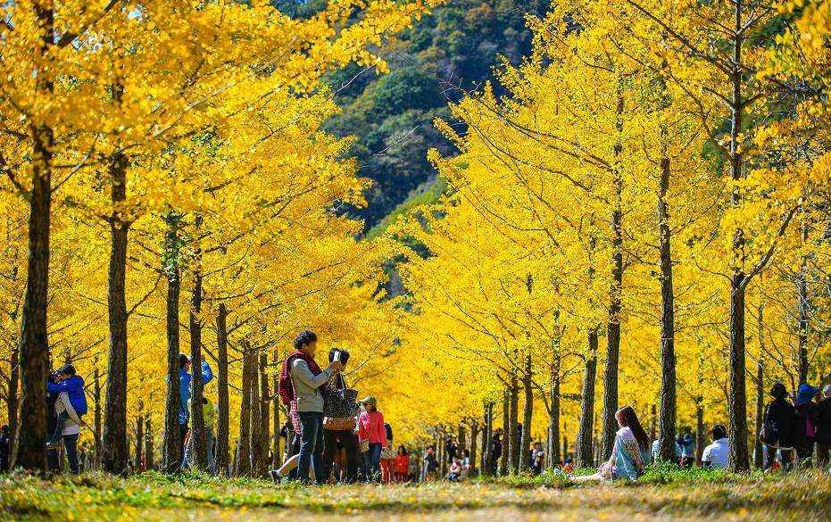 Vườn ngân hạnh ở Gangwon