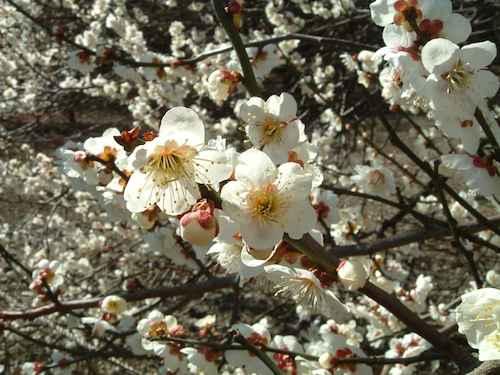 hoa mơ nở rộ tại Nhật Bản Hàn Quốc Tugo.com.vn