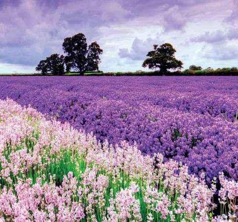 Hoa oải hương ở Pháp