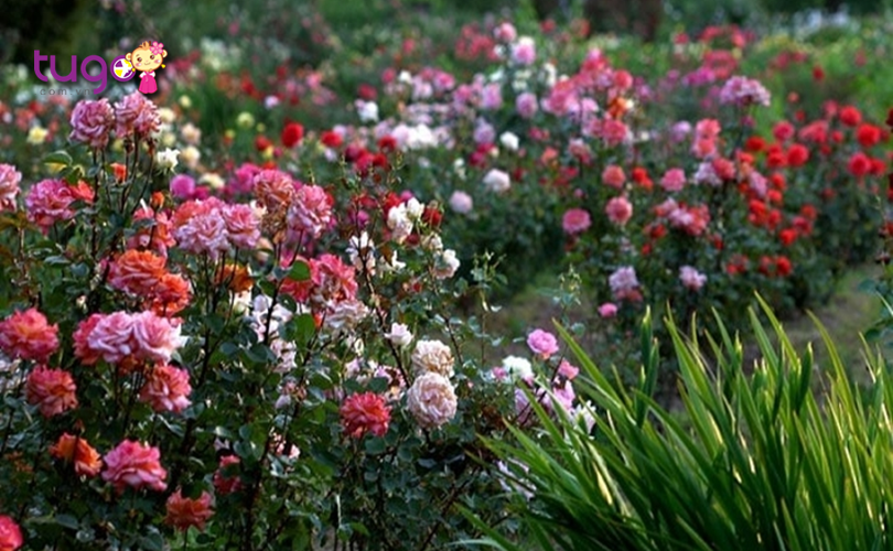 rose-garden-cua-ruston-la-mot-dia-diem-ngam-hoa-hong-tuyet-dep-ma-du-khach-khong-nen-bo-lo