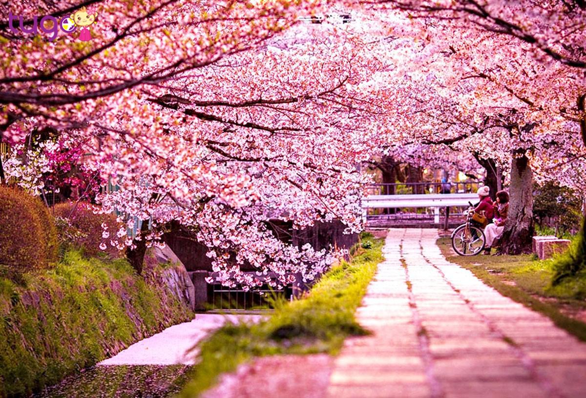 Đừng bỏ lỡ những trời hoa anh đào nở rộ của đất nước xinh đẹp Hàn Quốc
