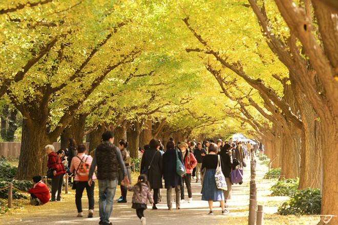 Đại lộ Ngân Hạnh là một trong những điểm chụp hình mùa thu lãng mạn tại Nhật Bản