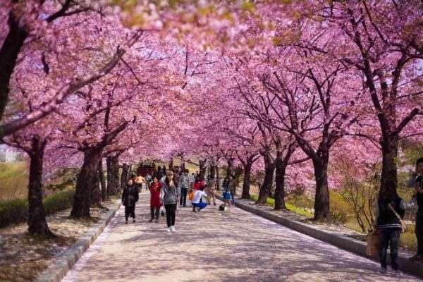 Lễ hội hoa anh đào Jeju