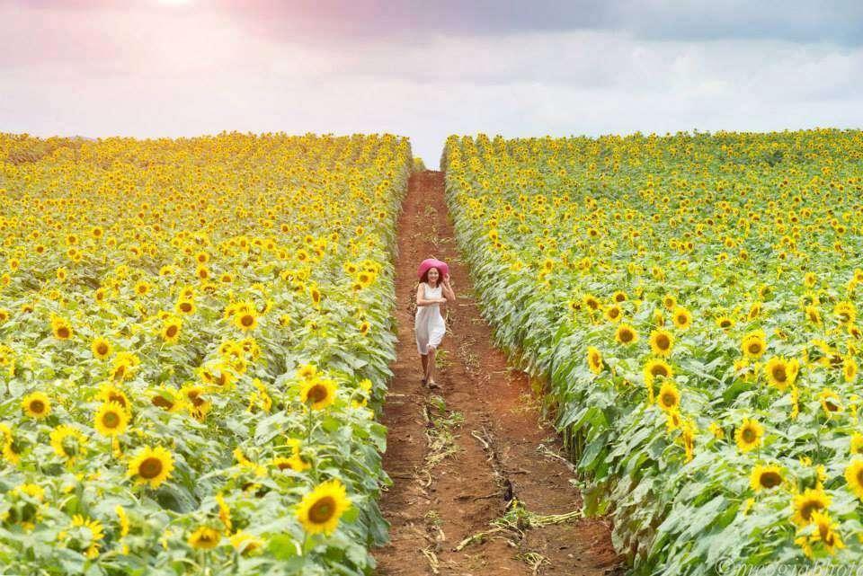 """Hoa hướng dương-""""đặc sản"""" của mùa thu Hàn Quốc"""