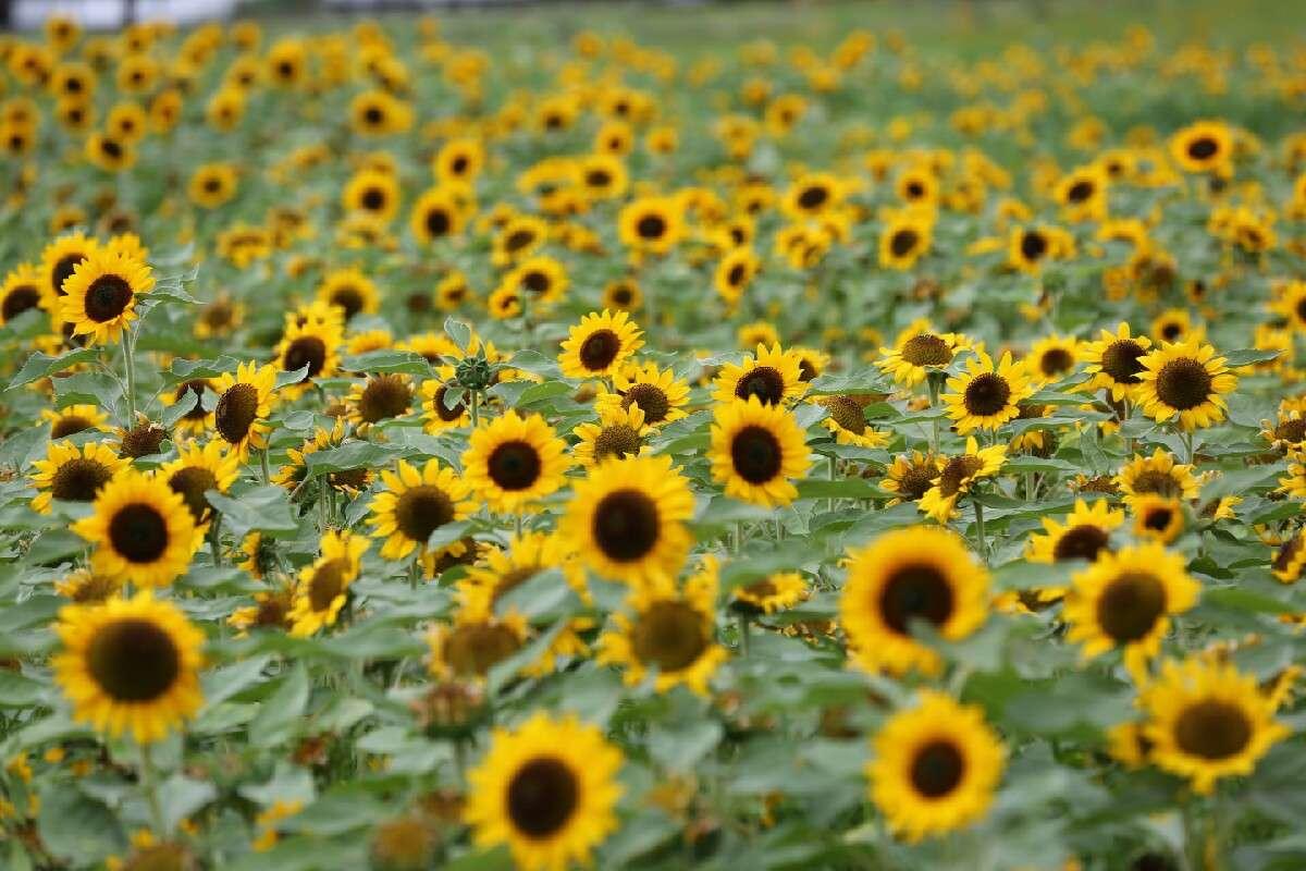 Nét hoang sơ của cánh đồng hoa hướng dương