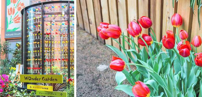 Thành phố Tonami nổi tiếng với loài hoa Tulip