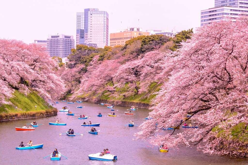 Dòng kênh Chidorigafuchi lãng mạn sắc anh đào giữa lòng Tokyo