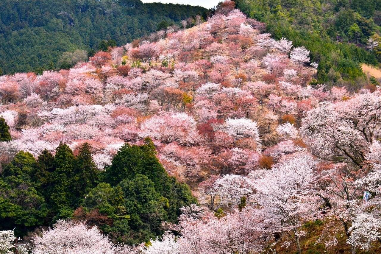 Núi Yoshino – địa điểm ngắm hoa anh đào đẹp nhất Nhật Bản