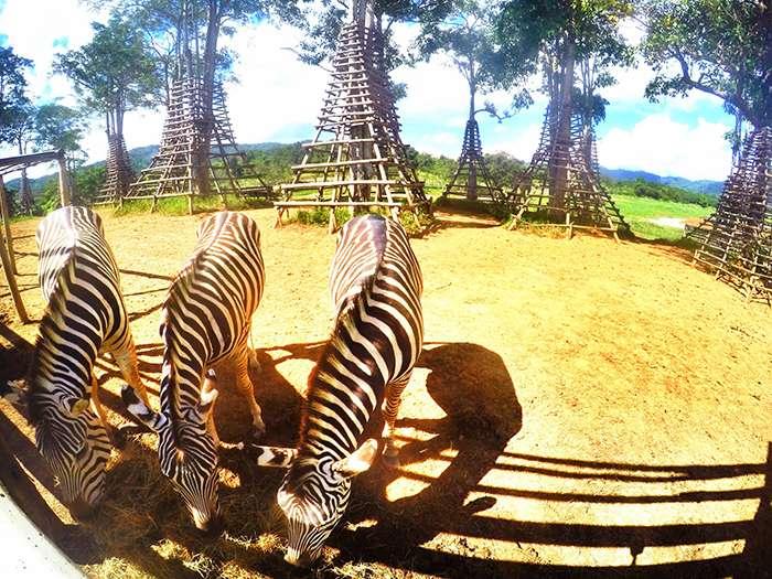 Trang trại nuôi ngựa vằn ở Singha Park
