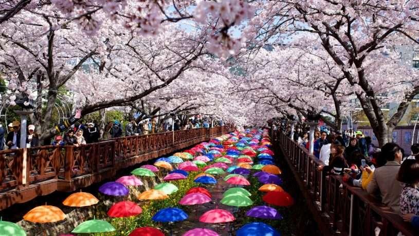 Lễ hội hoa anh đào ở Jinhae, tỉnh Gyeongnam thu hút khách du lịch